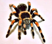 Mexican Hairleg Tarantula